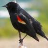 blackbird1931 userpic