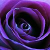 gothtique: Purple Rose