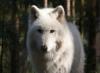 bijeli_vuk userpic