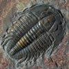 athene: trilobite