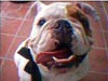 nigelharrison the english bulldog