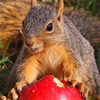 heartofdavid: squirrelapple