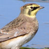 Gillian: Horned Lark