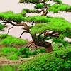 [Stock] Bonsai
