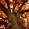 Wynefred: misc - autumn tree looking up