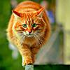 рыжий котэ
