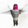 chamekke: cha_annas_hummingbird