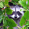 chamekke: cha_raccoon_kit