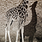 in the shadow of the giraffe