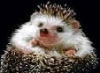 hedgehog_alfred userpic