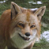 free, fox