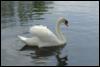 blue, Swan, water