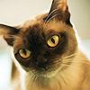бурманская кошка фото, кошки бурма, бурманская кошка, бурманские кошки, кошка бурма