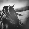 fbi_woman: Horses - bw close
