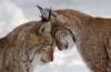 Lynxes_narrow