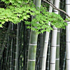 chamekke: cha_bamboo_with_leaves