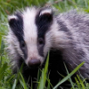 switchbadger userpic