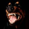 доберман, собака, животные, злость