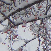 Crabapple in snow