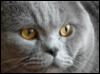 мышь, кот, британец, британский, любимец