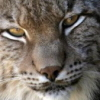 ms_snow_lynx userpic