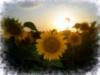 Україна, соняшники
