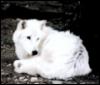 Белая волчица