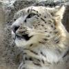 снежный тигр, барс