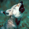 ★ wildfire ★: wolf howl