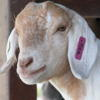 pensive goat