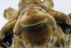 giraffe_lips