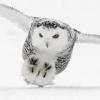 singing_owl