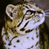 Тьерри: lion