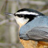 Gillian: Nuthatch