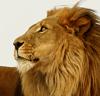 Лев, размышление, я, разговор