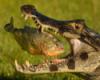 Крокодил и пиранья