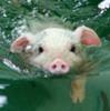 Anna S.: swimming pig