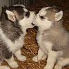 jendeana: puppies