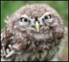Средняя утренняя сова