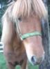 crystalgazer12: Icelandic Horse