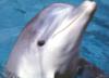 grey_dolphin