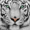 тигр-оборотень