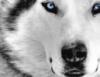 longview_prp: whitw wolf