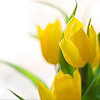 rifleman_s: Tulips