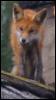 fox, roof