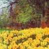 Lily: Daffodil