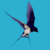 blue, swallow