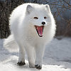 cool_polar_fox