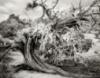 juniper_11: Juni--tree