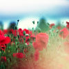 *flowers -> red poppies in fog